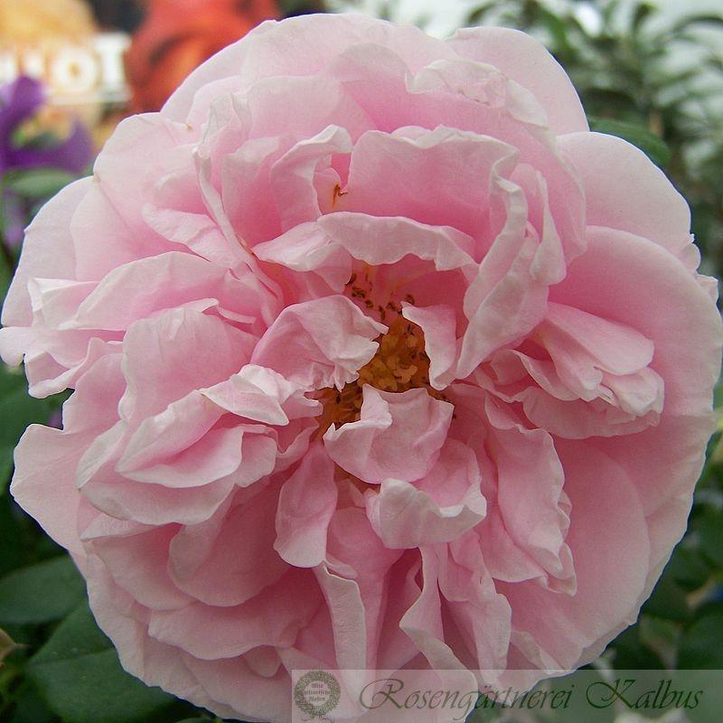 Kletterrose Gerbe Rose