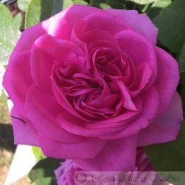 Besondere Rose Gertrude Jekyll®