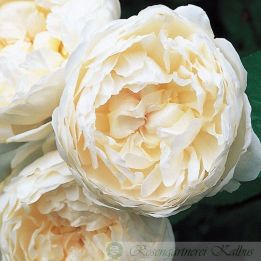 Englische Rose Glamis Castle®