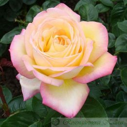 Moderne Rose Gloria Dei