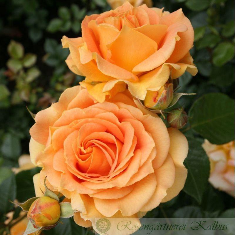 Moderne Rose Goldelse®