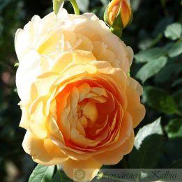 Besondere Rose Golden Celebration®