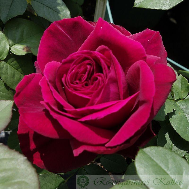 Moderne Rose Gospel®
