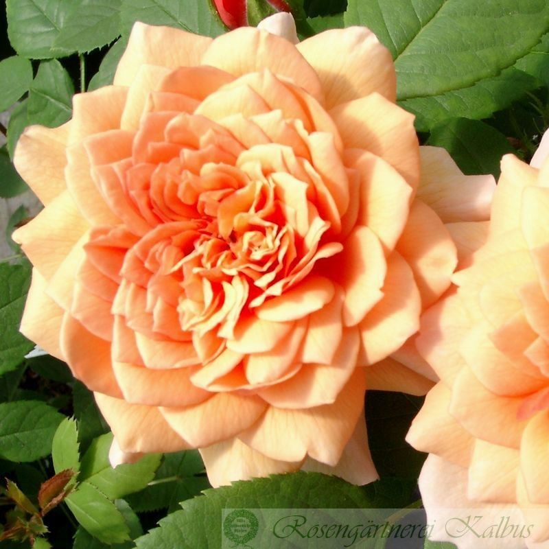 Besondere Rose Grace®