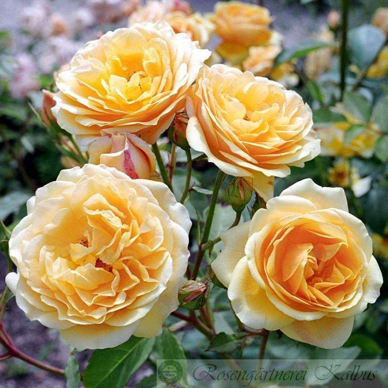 Englische Rose Graham Thomas®