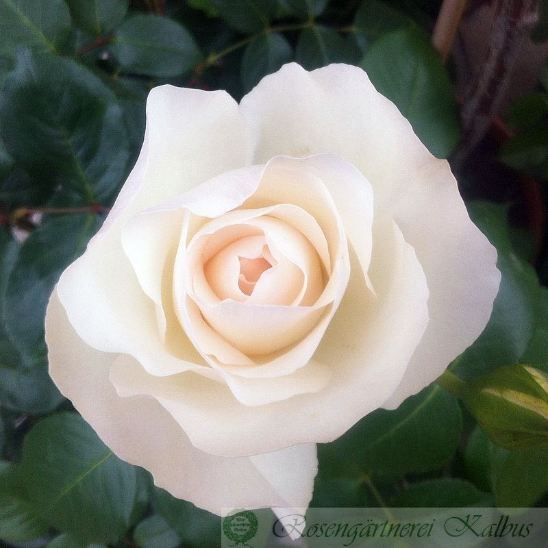 Besondere Rose Grand Nord®