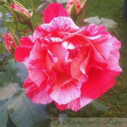Besondere Rose Grimaldi®