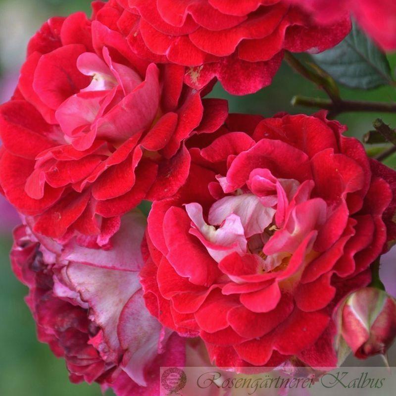 Generosa Rose Guy Darmet®