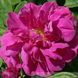 Historische Rose Hansa