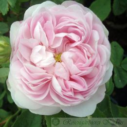 Historische Rose Maiden's Blush