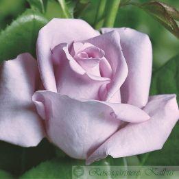 Moderne Rose Mainzer Fastnacht®