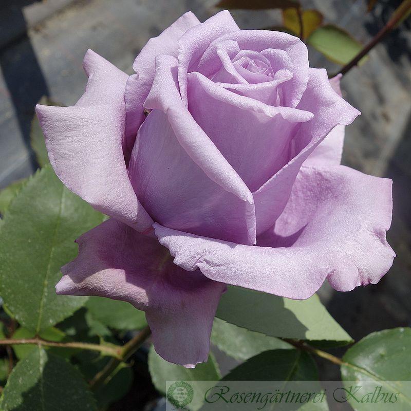 Besondere Rose Mamy Blue®