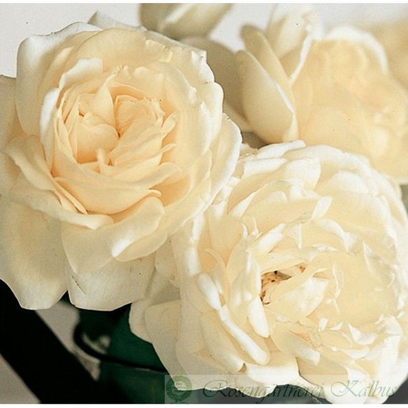 Besondere Rose Manuel Canovas®