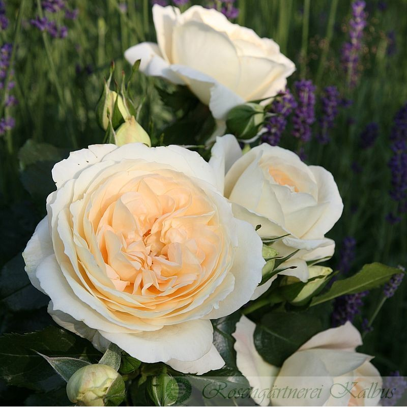 Moderne Rose Marie Antoinette®