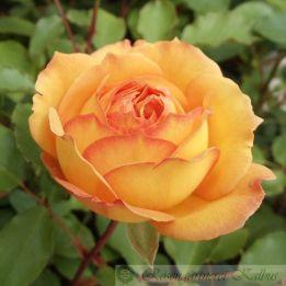 Besondere Rose Marquise de la Roche Jacquelein®