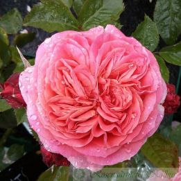 Edelrose Mary Ann®