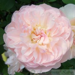 Englische Rose Mary Magdalena®