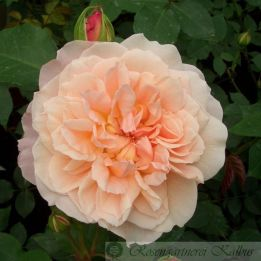 Besondere Rose Mary Magdalena®