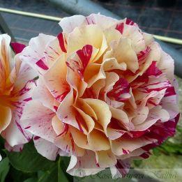 Besondere Rose Maurice Utrillo®