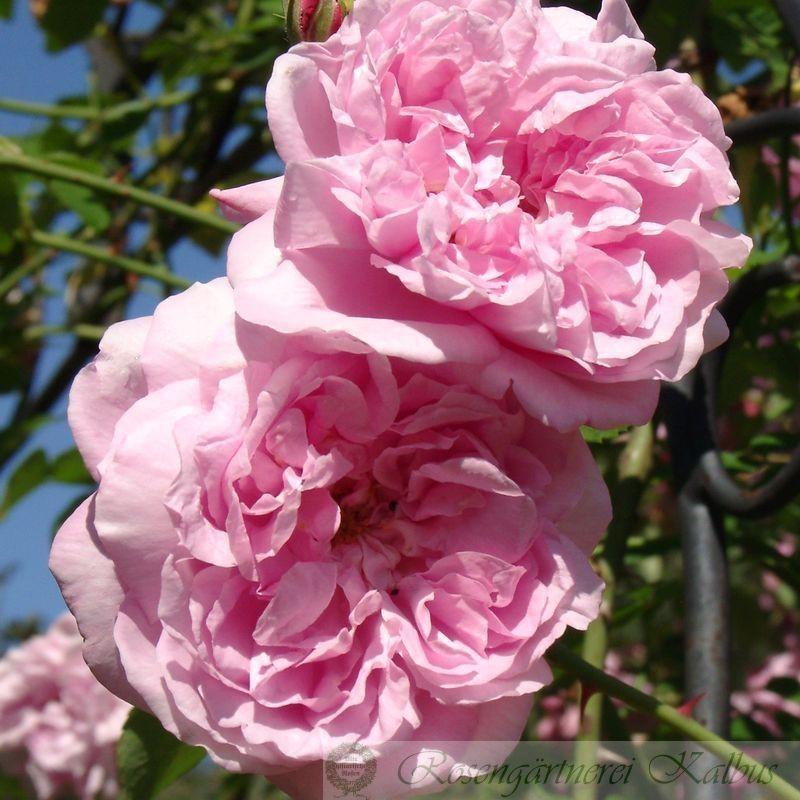 Ramblerrose May Queen
