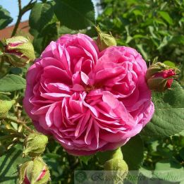 Historische Rose Mercedes
