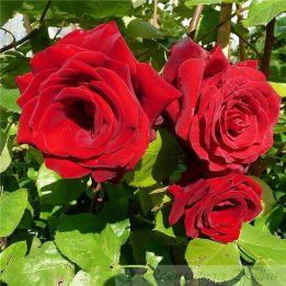 Besondere Rose Messire Delbard®