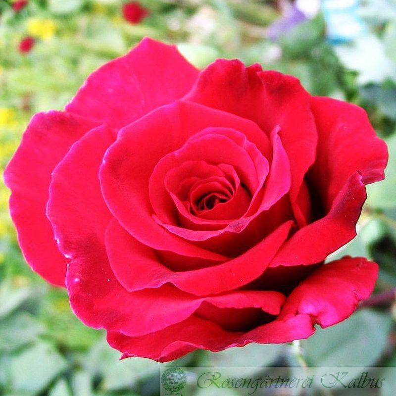 Moderne Rose Mildred Scheel®