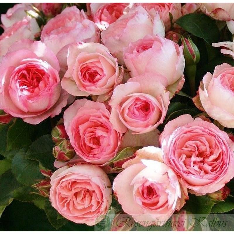 Kletterrose Mini Eden Rose®