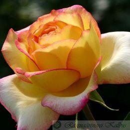 Besondere Rose Mitsouko®