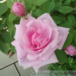 Historische Rose Mme Boll