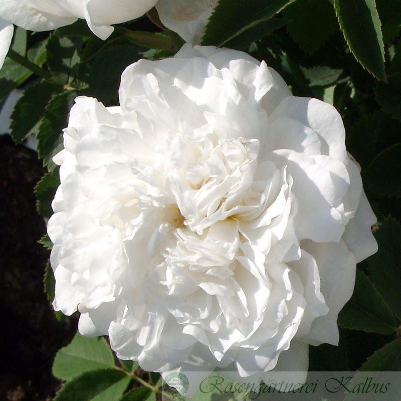 Historische Rose Mme Francois Pittet
