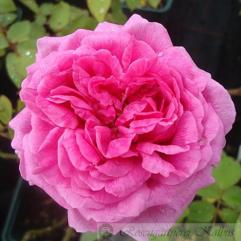 Historische Rose Mme Knorr