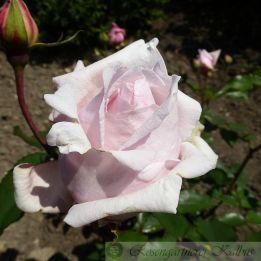 Historische Rose Mme Leon Pain