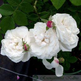 Historische Rose Mme Plantier