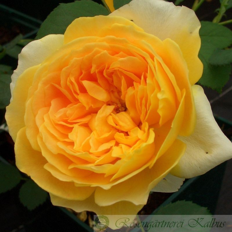 Besondere Rose Molineux®