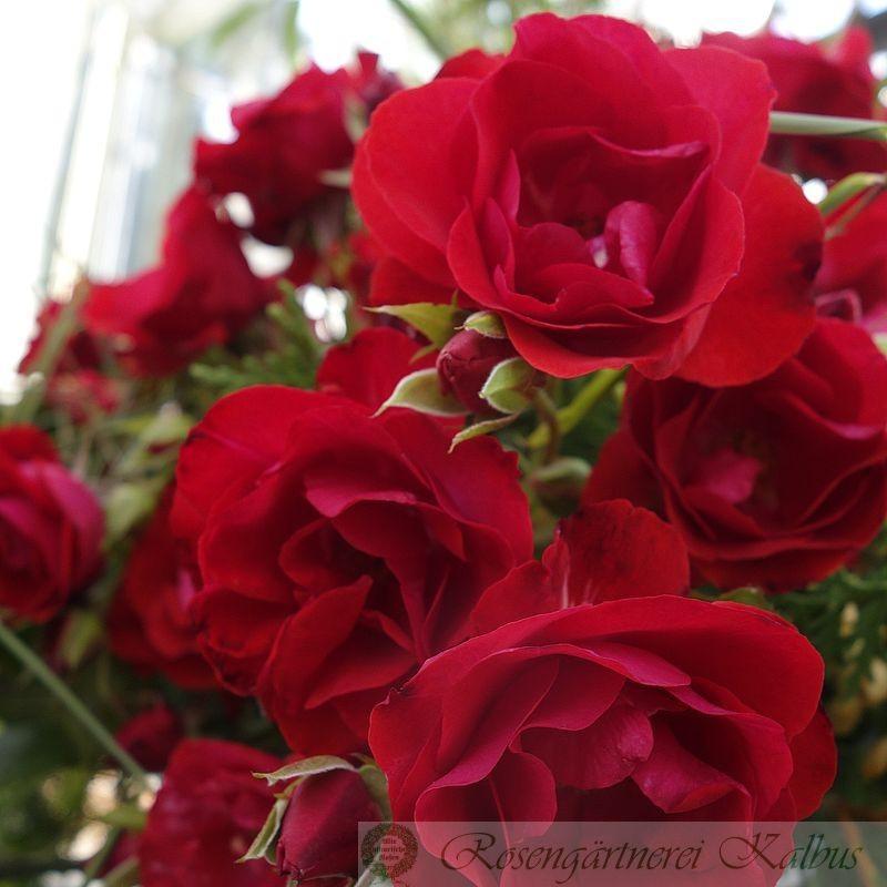 Moderne Rose Montana®