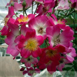 Historische Rose Mozart