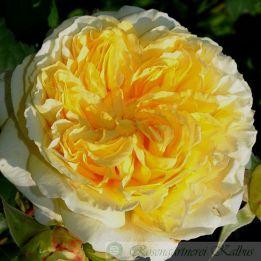 Besondere Rose Nelson Monfort®