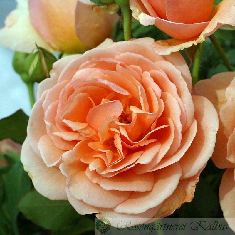 Besondere Rose Nicole Mioulane®