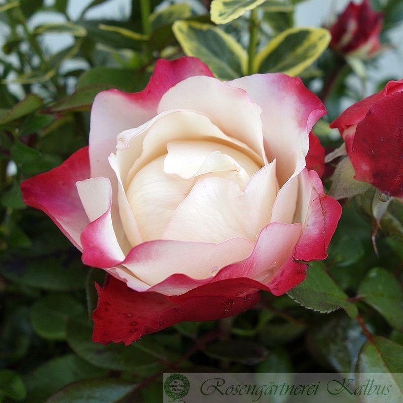 Moderne Rose Nostalgie®