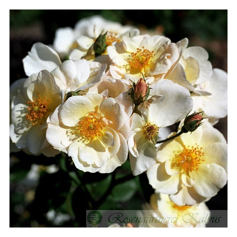 Historische Rose Omi Oswald