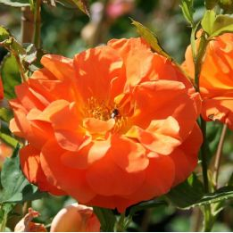 Kletterrose Orange Climber