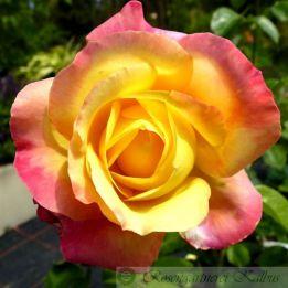 Moderne Rose Orient Express®