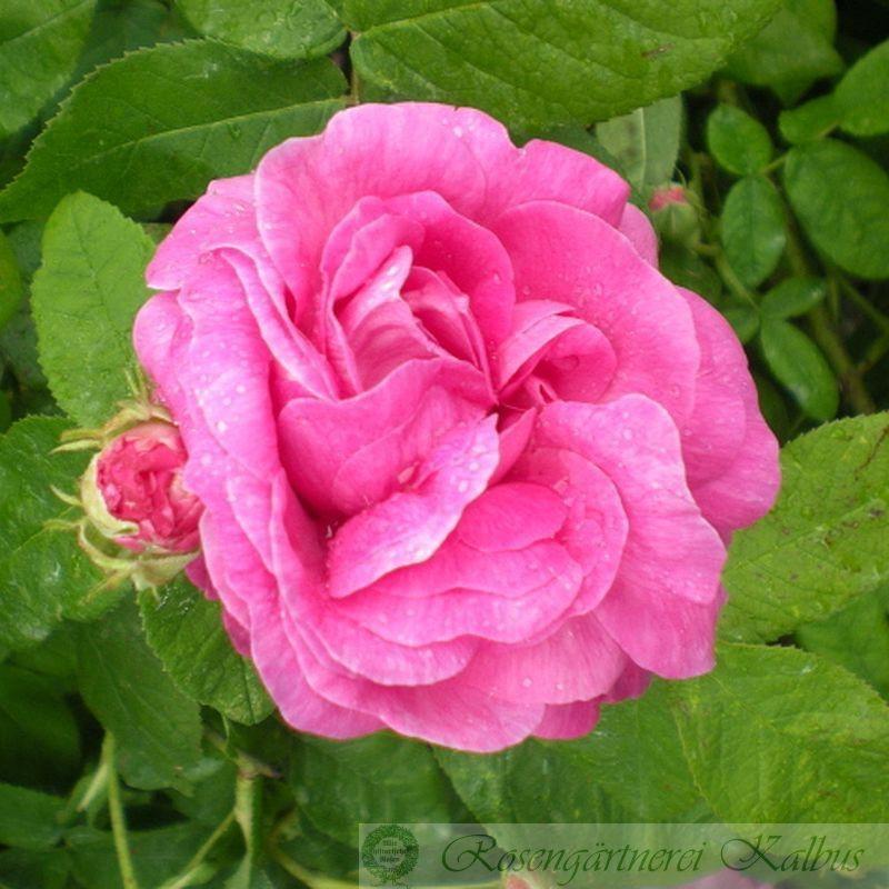 Historische Rose Paeonienrose