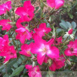 Historische Rose Paganini