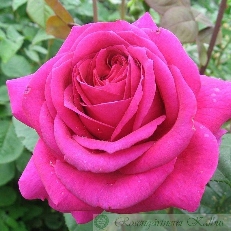 Moderne Rose Parole®