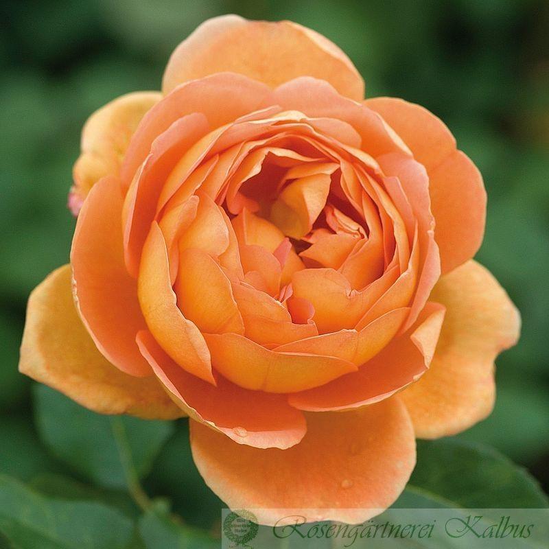 Besondere Rose Pat Austin®