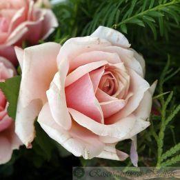 Besondere Rose Paul Bocuse®