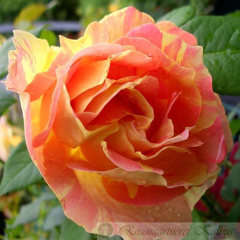Besondere Rose Paul Cezanne®