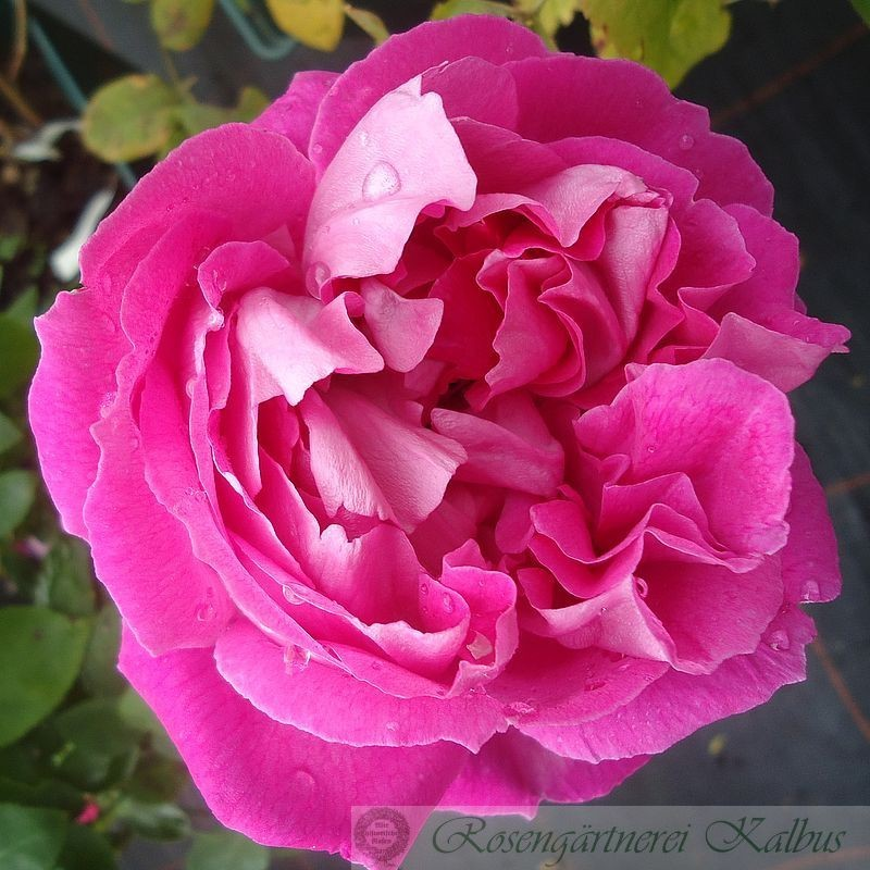 Historische Rose Paul Neyron